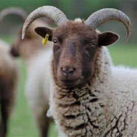Lamb, Hogget & Mutton